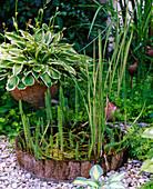 Hippuris vulgaris (Tannenwedel), Acorus calamus 'Variegata'