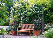 Rosa multiflora (Vielblütige Rose) an Rankwand, Clematis