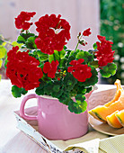 Pelargonium zonale Little Lady 'Scarlet' (Mini - Geranie)