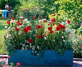 Blauer Metall - Kasten rot - weiß bepflanzt