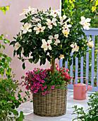 Hibiscus rosa-sinensis (Roseneibisch), Stamm, unterpflanzt