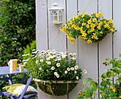 Wandkörbe im Sommer : Argyranthemum 'Beauty White'