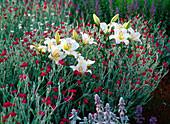 Lilium asiaticum 'Alaska' (weiße Lilien)
