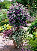 Solanum rantonnetii (Enzianbaum) unterpflanzt mit Scaevola