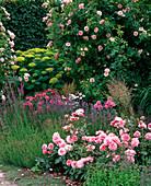 Rosa 'Kir Royal' (Kletterrose), 'Botticelli' (Kleinstrauchrose)