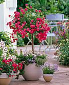 Rosa 'Knirps' (Bodendeckerrose von Kordes) auf Stamm und als Busch