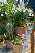 Galanthus nivalis (Schneeglöckchen), Primula (Primel)