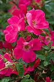 Rosa 'Candia Meidiland' (Kleinstrauchrose) pink, öfterblühend