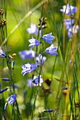 Wothe : Campanula rotundifolia (Rundblättrige Glockenblume), mehrjährige Wildstaude, die gern auf Magerwiesen und Schotter wächst, blüht Juni bis September