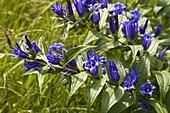 Wothe : Gentiana asclepiadea (Schwalbenwurz - Enzian), wächst in Alpenrandlagen und blüht von August bis Oktober, Heilpflanze