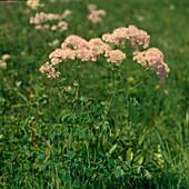 Thalictrum aquilegifolium (Akeleiblättrige Wiesenraute)