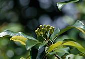Syzygium aromaticum (Gewürznelken) in Sansibar, Afrika