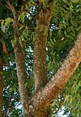 Cinchona officinalis syn Cinchona calisaya (Chinarindenbaum, Fieberrindenbaum, Chininbaum) in Sansibar / Afrika, Stamm