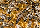 Apis (Honigbienen), Arbeiterinnen und Königin auf Waben