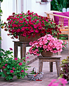 Petunia x Calibrachoa Supercal 'Neon Rose'