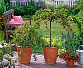 Ribes ''Hinnomäki'' (Rote Stachelbeere) unterpflanzt