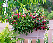 Fuchsia 'Cherry' 'Paula Jane' 'Suncarlos' (Fuchsien)