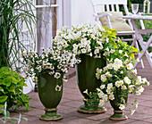 Scaevola 'Top poT White' (Fächerblume), Petunia Veranda