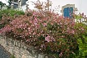 Hecke aus Abelia (Abelie) auf einer Mauer gepflanzt