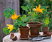 Cucurbita (courgette), flowering young plants in clay pots