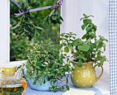 Mentha (Ananas - Minze, Ingwer - Minze) in Krügen, Teekanne mit Kräutertee