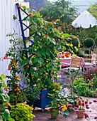 Phaseolus (Feuerbohnen), Lycopersicon (Tomaten), Capsicum