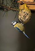 Wothe : Parus caeruleus (Blaumeise) an Meisenknödel