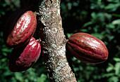 Wothe : Theobroma (Kakao) mit Früchten