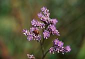 Wothe : Limonium vulgare (Gemeiner Strandflieder) mit Marienkäfer