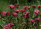 Wothe : Daphne cneorum (Heideröschen, Rosmarin - Seidelbast)