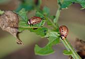 Wothe : Leptinotarsa decemlineata (Kartoffelkäfer - Larven) fressen an Kartoffel-Blatt