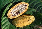 Wothe : Theobroma (Kakao), Schote mit Kakaobohnen