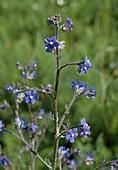 Wothe : Anchusa azurea (Italienische Ochsenzunge)