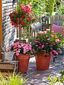 Rosa 'Medley Pink' (Rosenstamm von Noack), Rosa 'Cubana'