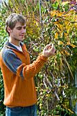 Mann prüft Reife von Bayern - Kiwi 'Issai'