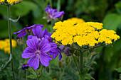 Pflanzenkombi aus Achillea (Schafgarbe) und Geranium (Storchschnabel), Farbkontrast gelb violett