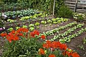 Gemüsebeet mit Papaver (Mohn)