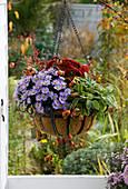 Hanging Basket mit Kokos - Einlage, Aster dumosus 'Sapphire' (Kissenaster)