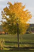 Acer platanoides (Spitzahorn) in Herbstfarbe