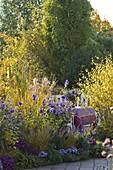 Herbstbeet mit Aster (Herbstastern), Aconitum (Eisenhut)