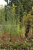 Helianthus salicifolius (Weidenblättrige Sonnenblumen)