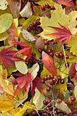 Buntes Herbstlaub und Zweig mit Früchten von Crataegus (Weißdorn)