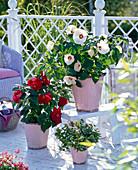 Hibiscus moscheutos 'Disco Belle' (Sumpfeibisch)