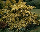 Euonymus fortunei 'Emerald'n Gold' (Kletter - Spindelstrauch)