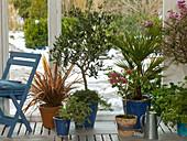Wintergarten mit Olea europaea (Olive), Phormium (Neuseelandflachs)