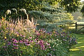 PETTIFERS Garden, OXFORDSHIRE. DAWN Light On LATE SUMMER BORDER with Echinacea AND CORNUS CONTROVERSA VARIEGATA
