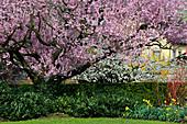 Prunus cerasifera 'Nigra' (Blutpflaume) blühend, unterpflanzt mit