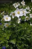 Anemone sylvestris (Wald-Anemone)