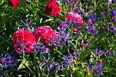 Paeonia (Pfingstrosen), Centaurea (Flockenblume)