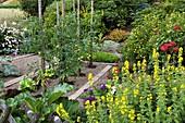 Bauerngarten mit Lycopersicon (Tomaten), Lactuca (Salat), Lysimachia punctata (Goldfelberich), Verbena (Eisenkraut), Rosa (Rose), Potentilla